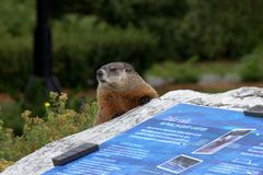 Marmot in Ottawa park Stock Images