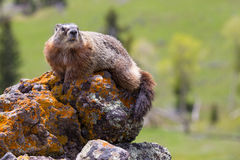Marmot overlooking a valley Royalty Free Stock Photos