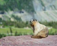 Marmot på avsats Royaltyfria Bilder