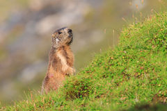 Marmot in the pastures of Fagaras Mountains,Romania. A marmot, otherwise known as a ground squirrel or ground hog is a native of Romanian Carpathians mountain Royalty Free Stock Photo
