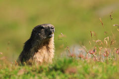 Marmot in the pastures of Fagaras Mountains,Romania. Royalty Free Stock Images