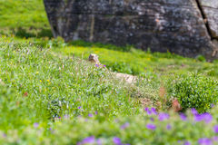 Marmot peeps out of the hole Royalty Free Stock Images