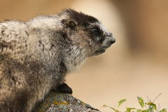 Marmot peering over a Rock in the Alaska Range Stock Image