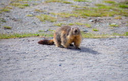 Marmot. This is a photo of marmot in the field Stock Photo