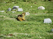Marmot playing. In the green fields royalty free stock image