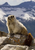 Marmot portrait Royalty Free Stock Image