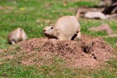 Marmot. Portrait of a marmot digging a hole stock photography