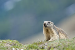Marmot portrait Stock Images