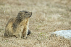 Marmot portrait while looking at you Royalty Free Stock Photos