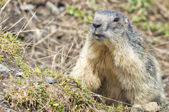 Marmot portrait while looking at you Royalty Free Stock Photography