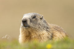 Marmot portrait while looking at you Stock Photos