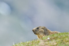 Marmot portrait while looking at you Royalty Free Stock Photo