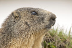 Marmot portrait while looking at you Stock Images