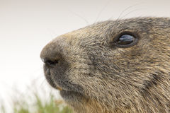 Marmot portrait while looking at you Stock Image