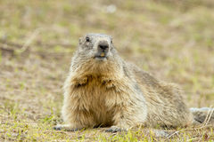 Marmot portrait while looking at you Stock Photography