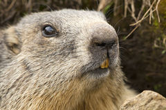 Marmot portrait while looking at you Stock Photo