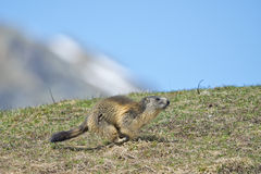 Marmot portrait while running Royalty Free Stock Photography