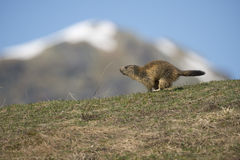 Marmot portrait while running Royalty Free Stock Images