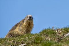 A Marmot portrait Royalty Free Stock Photography