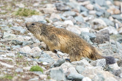 Marmot portrait while walking Royalty Free Stock Image