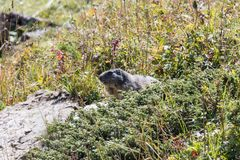 Marmot posing from the Alps. Mountains royalty free stock photography