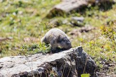 Marmot posing from the Alps. Mountains royalty free stock image