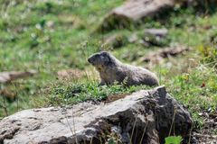 Marmot posing from the Alps. Mountains royalty free stock images