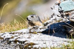 Marmot posing from the Alps. Mountains stock photography