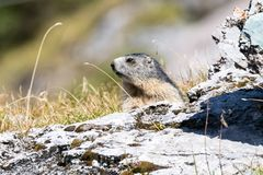 Marmot posing from the Alps. Mountains royalty free stock photos