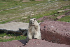 Marmot posing for the picture Stock Photography