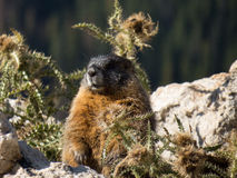 A marmot is prairie doggin from his hole on the continental divide in Colorado Royalty Free Stock Photo
