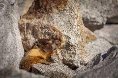 Marmot profile Stock Photo