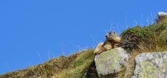 Groundhog resting on a rock. Marmot resting on a rock in front of a blue sky stock image