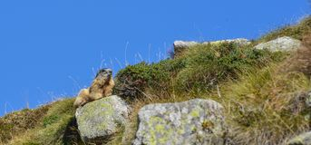 Groundhog resting on a rock. Marmot resting on a rock in front of a blue sky stock photo