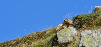 Groundhog resting on a rock. Marmot resting on a rock in front of a blue sky stock photos