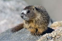 Marmot Resting on Rock at the Top of Mount Evans, Colorado. Marmots are common in the Rocky Mountains and are very sociable animals. They are related to royalty free stock images