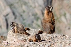 Marmot Resting on Rock at the Top of Mount Evans, Colorado. Marmots are common in the Rocky Mountains and are very sociable animals. They are related to royalty free stock image