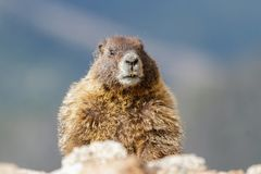 Marmot Resting on Rock at the Top of Mount Evans, Colorado. Marmots are common in the Rocky Mountains and are very sociable animals. They are related to stock images