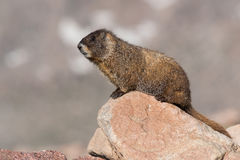 Marmot Resting on Rock at the Top of Mount Evans, Colorado Stock Image