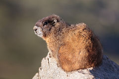Marmot Resting on Rock at the Top of Mount Evans, Colorado Stock Photo