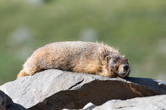 Marmot Resting on Rock at the Top of Mount Evans, Colorado Royalty Free Stock Photo