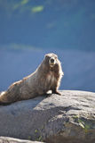 Marmot on a rock Stock Images