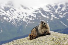 A marmot on a rock Stock Photos