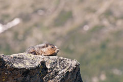 Marmot on rock Royalty Free Stock Photo