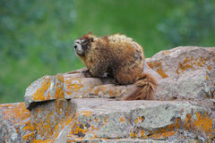 Marmot on Rock in Alpine Meadow Stock Images