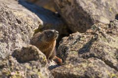 Marmot on the Rock Stock Image