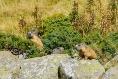 3 Groundhogs sitting on a rock. 3 Marmot on a rock stock photo