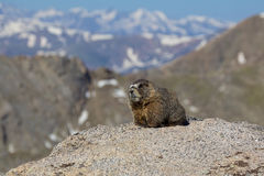 Marmot on Rock in High Mountains Stock Image