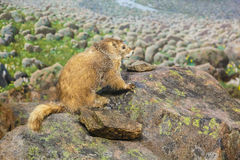 Marmot on a Rock Stock Photo