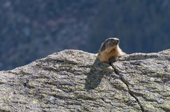 Marmot on the rock Royalty Free Stock Photography